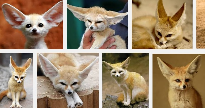 Fennec Foxes Pets For Sale Price Cage Illegal Complete Guide